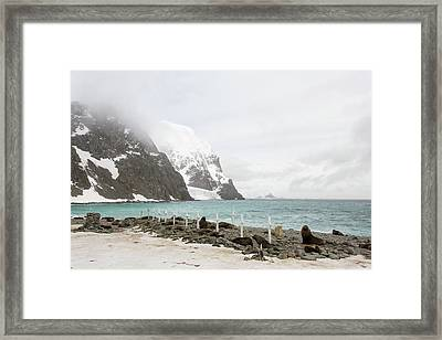 Graves And Antarctic Fur Seals Framed Print by Ashley Cooper