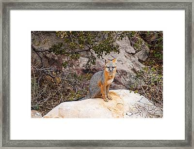Gray Fox II Framed Print by James Marvin Phelps