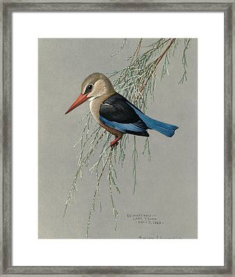 Gray Headed Kingfisher Framed Print by Louis Agassiz Fuertes