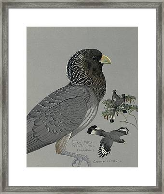 Gray Plantain Eater Framed Print by Louis Agassiz Fuertes