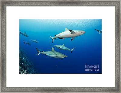 Gray Reef Sharks _carcharhinus Amblyrhynchos_, Fill The Water Column At A Dive Site Named Vertigo, Off The Island Of Yap_ Yap, Micronesia Framed Print by Dave Fleetham