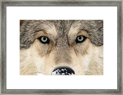 Gray Wolf Face Framed Print by Louise Murray