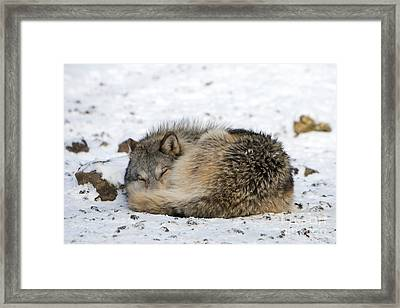 Gray Wolf Sleeping Framed Print by Louise Murray