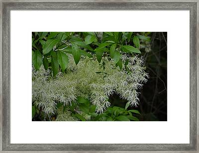Graybeard Plant Framed Print by Judy Wanamaker