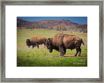 Grazing Bison Framed Print by Inge Johnsson