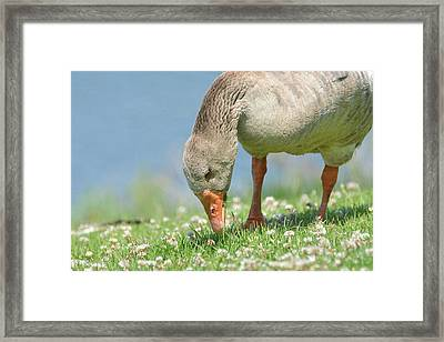 Grazing In The Grass Framed Print by Fraida Gutovich