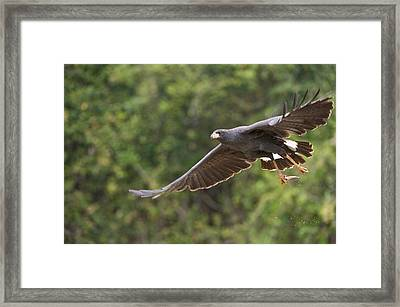 Great Black Hawk Buteogallus Urubitinga Framed Print by Panoramic Images