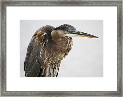 Great Blue Heron - # 14 Framed Print by Paulette Thomas