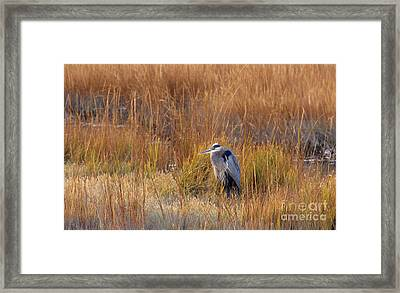 Great Blue Heron At Rest Framed Print by Cindy Lee Longhini