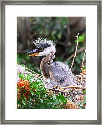 Great Blue Heron Chick Framed Print by Barbara Bowen