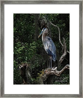 Great Blue Heron  Framed Print by Deborah Smith