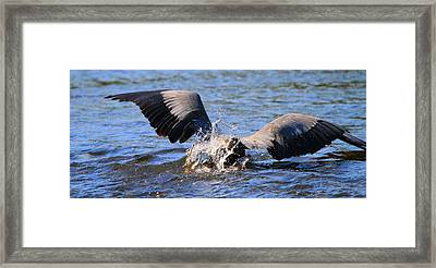 Great Blue Heron Dive Framed Print by Dan Sproul