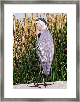 Great Blue Heron Framed Print by Edward Fielding