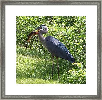 Great Blue Heron Grabs A Meal Framed Print by Christina Shaskus
