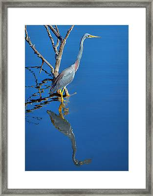 Tricolored Heron Framed Print by Nikolyn McDonald