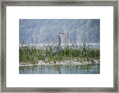 Great Blue Heron On Hemlock Lake Framed Print by Steve Clough