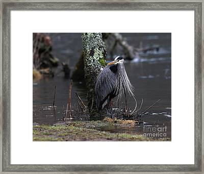 Great Blue Heron On The Clinch River Framed Print by Douglas Stucky