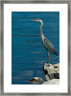 Great Blue Heron Framed Print by Sebastian Musial
