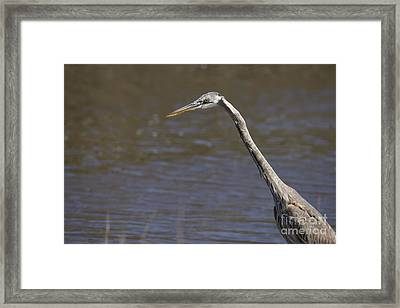 Great Blue Heron Framed Print by Twenty Two North Photography
