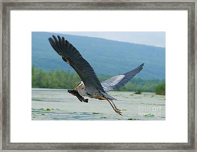 Great Blue Heron With Fish Framed Print by Roger Bailey