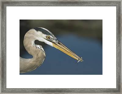 Great Blue Heron With Juvenlile Mullet Framed Print by Tui De Roy