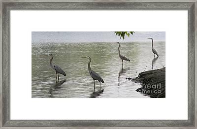 Great Blue Herons Framed Print by Bob and Jan Shriner