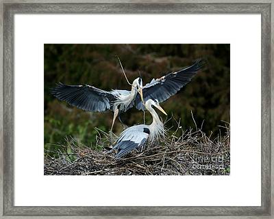 Great Blue Herons Nesting Framed Print by Sabrina L Ryan