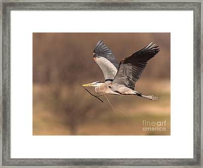 Great Blue To Rookery Framed Print by Robert Frederick