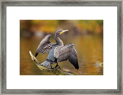 Great Cormorant Drying Its Wings Framed Print by Simon Booth