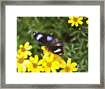 Great Eggfly Butterfly Framed Print by Diane E Berry