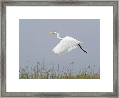 Great Egret Ardea Alba In Flight Framed Print by Panoramic Images