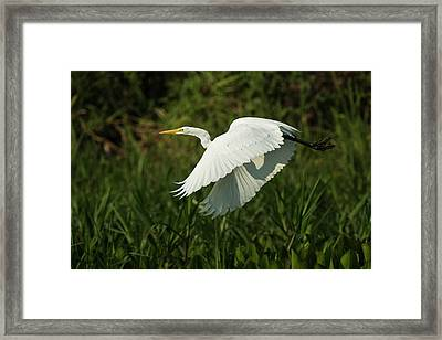 Great Egret (ardea Alba Framed Print by Pete Oxford
