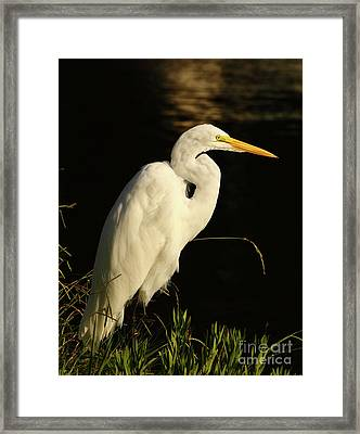 Great Egret At Morning Framed Print by Robert Frederick