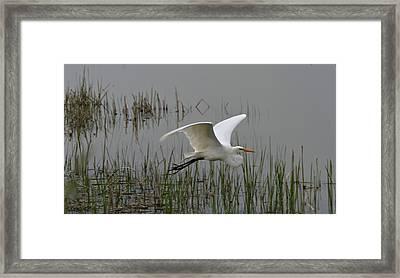 Great Egret Flying Framed Print by Dan Sproul