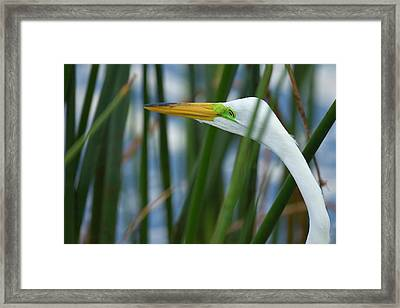 Great Egret Hunting In Soft Stem Framed Print by Maresa Pryor