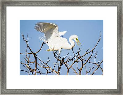 Great Egret In Golden Hour Sunset Framed Print by Ellie Teramoto