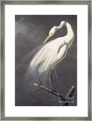 Great Egret  Framed Print by Celestial Images