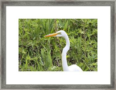 Great Egret Portrait Framed Print by Dan Sproul