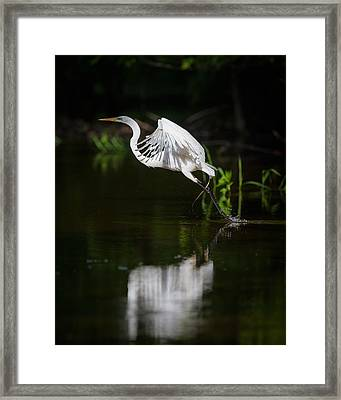 Great Egret Takeoff Framed Print by Chris Hurst
