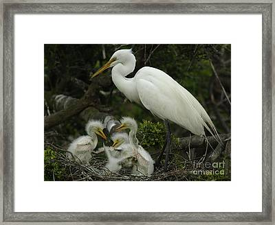 Great Egret With Young Framed Print by Bob Christopher