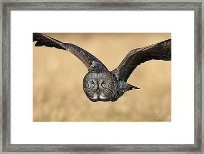 Great Gray Owl In Flight Framed Print by Daniel Behm