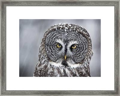 Great Gray Owl Scowl Minnesota Framed Print by Benjamin Olson