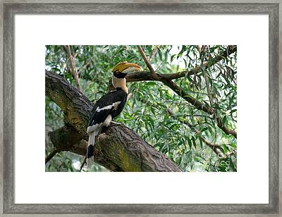 Great Indian Hornbill Framed Print by Art Wolfe