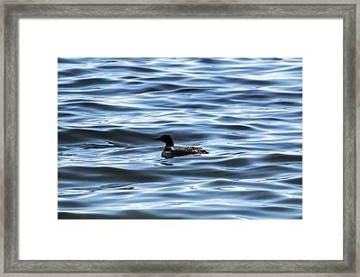 Great Northern Loon Framed Print by Matt Molloy