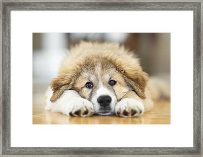 Great Pyrenees Puppy Lying Down Framed Print by Ken Gillespie