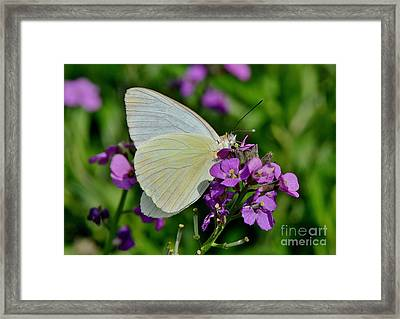 Great Southern White Butterfly Framed Print by Kathy Baccari
