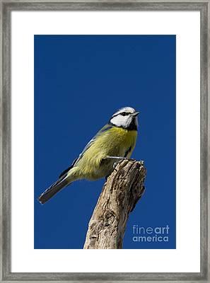 Great Tit On Blue Framed Print by Maurizio Bacciarini