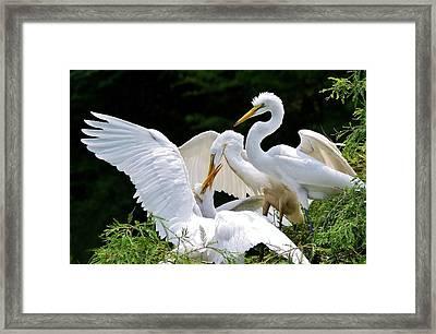 Great White Egret Feeding Time Framed Print by Paulette Thomas