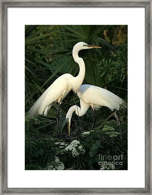 Great White Egret Mates Framed Print by Sabrina L Ryan