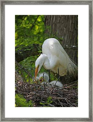 Great White Egret Mom And Chicks - Feeding Time Framed Print by Suzanne Gaff
